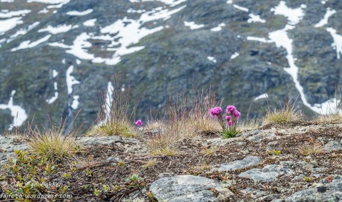 Mange vakre blomster i fjellet