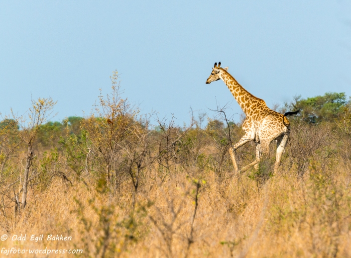 Giraff i galopp