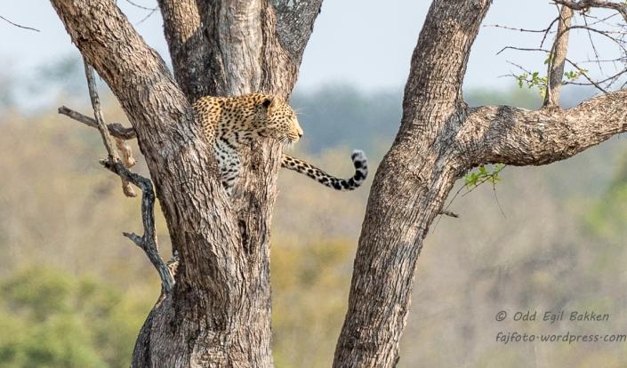 Leoparden søkte tilflukt i treet