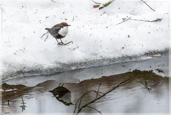 Fossekallen er ikke redd snø og sludd