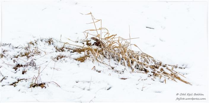 Noen gress-strå våger seg opp i det fri